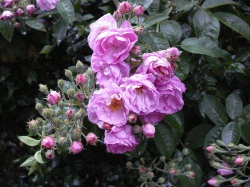 Pienk rose